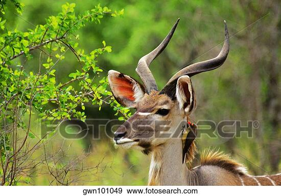 Example of Red-billed Oxpecker on Kudu