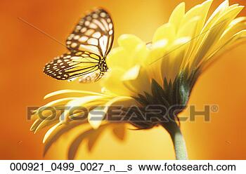 Banco de Imagem - flor, fundo, margarida,  borboleta, pretas,  abji. fotosearch  - busca de fotos,  imagens e clipart