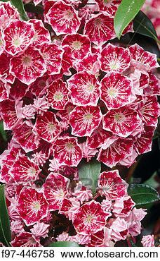 Pictures of mountain laurel kalmia latifolia garden for Oregon craft floral