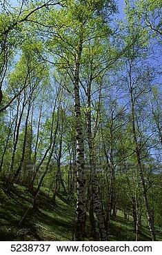 Image - végétal,  extérieur,   arbre,  vert,   bleu. fotosearch  - recherchez des  photos, des images  et des cliparts