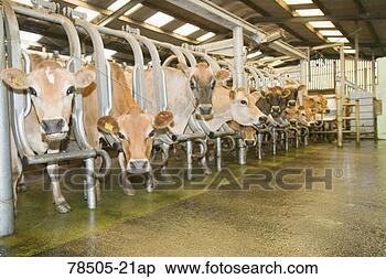 il prezzo del latte alla stalla è passato da 42 a 31 centesimi