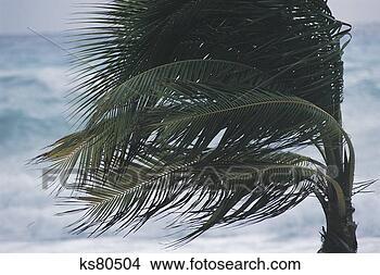 Banques de Photos - paume, arbre, souffler, vent. fotosearch - recherchez des photos, des images et des cliparts