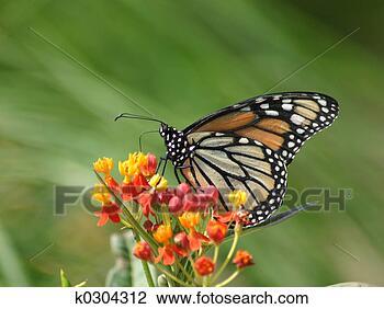 Banque de Photo - monarque, papillon. fotosearch - recherchez des photos, des images et des cliparts