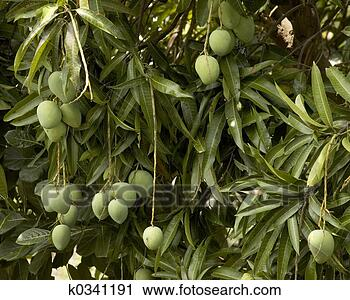 Image of an Indian mango tree laden with unripe fruits