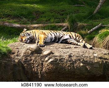Arquivo de Fotografias - preguiçoso, tiger.  fotosearch - busca  de fotos, imagens  e clipart