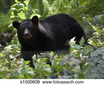 照片- 黑色的熊