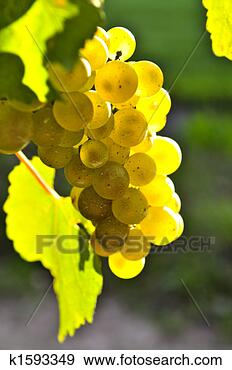 yellow grapes ~k1593349 Wine 101 Other White Wine Grapes