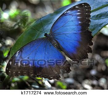 Stock Photo - blue morpho butterfly.  fotosearch - search  stock photos,  pictures, images,  and photo clipart