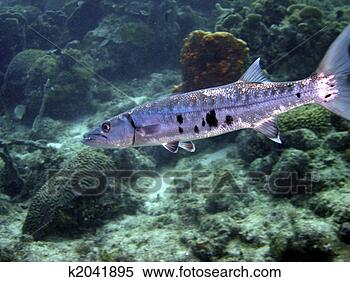 <<:;Rising;:>> A PRP for **(me,Varjack,Mad Moai,and Lan Fan)** Giant-barracuda_~k2041895