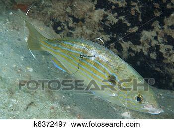 Foto - pinfish, peixe,  gancho, seu, costas,  quadro, levado,  palma, praia.  fotosearch - busca  de fotos, imagens  e clipart