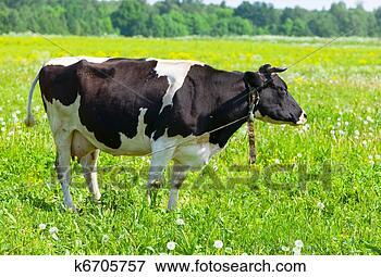 Foto - vaca, prado, solar,  dia. fotosearch  - busca de fotos,  imagens e clipart