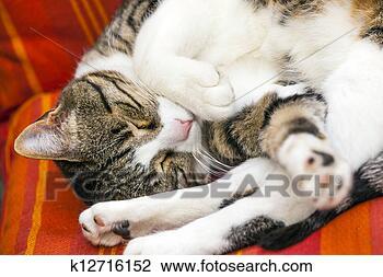 Banco de Imagem - cute, gato, dormir,  sofá. fotosearch  - busca de fotos,  imagens e clipart