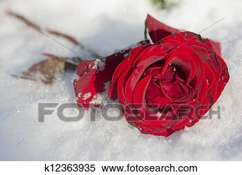 Stock Image - Red Rose in the snow. Fotosearch - Search Stock Photos, Mural Pictures, Photographs, and Photo Clipart