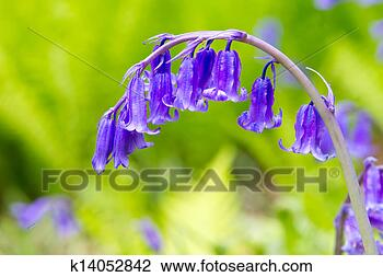 Stock Photo - Spring bluebells growing in English countryside. Fotosearch - Search Stock Photography, Print Pictures, Images, and Photo Clip Art
