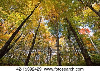 sugar maples in fall in vermont 42 15392429 corbis photos photograph