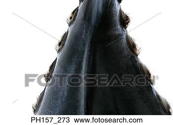 图吧 - 身体, fish PH157_273 - 搜索图象、海报