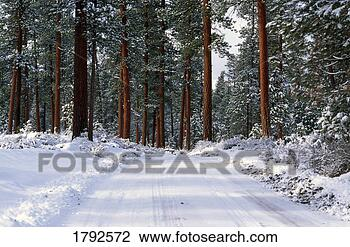 Stock Photo - winter road in  ponderosa pine  forest. fotosearch  - search stock  photos, pictures,  images, and photo  clipart