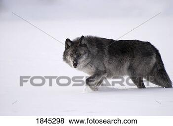 <<:;Rising;:>> A PRP for **(me,Varjack,Mad Moai,and Lan Fan)** Gray-wolf-snow_~1845298