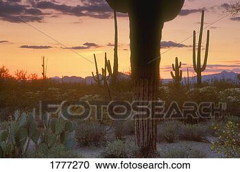 Banque de Photographies - cactus,  silhouetted,   contre,  désert,   paysage,  saquaro,   cactus. fotosearch  - recherchez des  photos, des images  et des cliparts