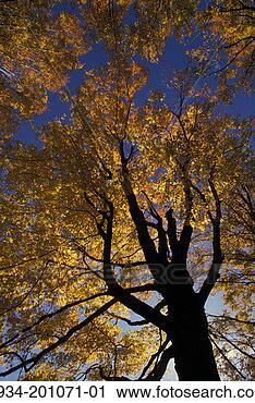 sugar maple tree autumn 1934 201071 01 estock photo us photograph ...
