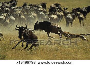 Banco de Imagem - chita, (acinonyx,  jubatus), perseguindo,  zebras, wildebeests.  fotosearch - busca  de fotos, imagens  e clipart