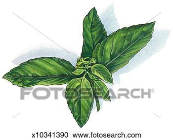 Stock Illustration - basil. fotosearch  - search clipart,  illustration,  drawings and vector  eps graphics images