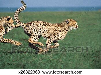 照片 - 猎豹, 跑, (acinonyx, jubatus) x26822368