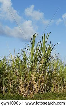 Stock Photography - Sugar cane in a field, Hawaii Islands, USA ...