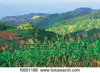 Mauritius, Rodrigues, sugar cane fields, sea and mountains View Large ...