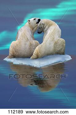 Arquivo Fotográficos - urso,  polar-bear.fotosearch - buscade fotos, imagense clipart