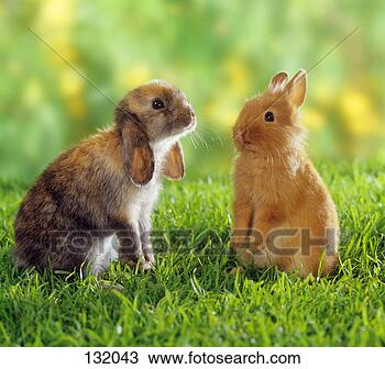 stock photo of dwarf rabbit and lop eared dwarf rabbit on meadow 132043 search stock images. Black Bedroom Furniture Sets. Home Design Ideas