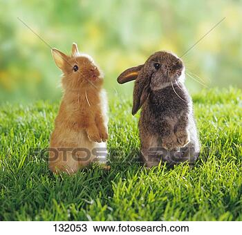 stock photo of dwarf rabbit and lop eared dwarf rabbit on meadow 132053 search stock images. Black Bedroom Furniture Sets. Home Design Ideas