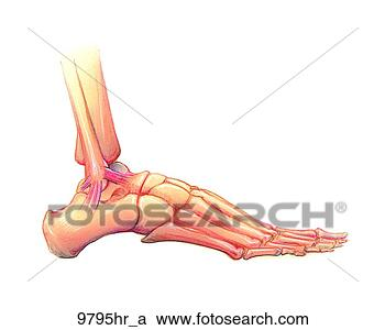 Stock Illustrations of Foot Lateral View Unlabeled 9795hr ...