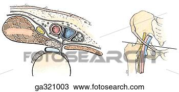 femoral nerve, Muscles