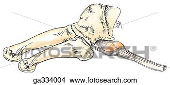 attachment to the fifth metatarsal bo. Fotosearch - Search Clip Art