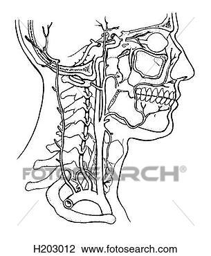 剪贴画 - 动脉, 头和,