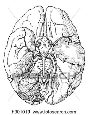 - 脑子, 动脉