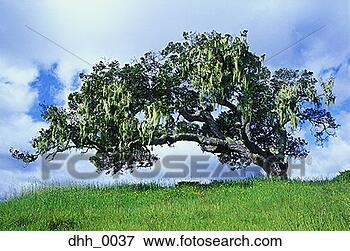 Image - arbre,  prairie.  fotosearch - recherchez  des photos, des  images et des  cliparts