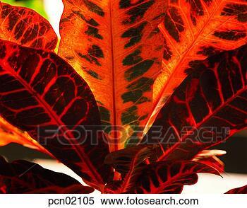 Banque d 39 image feuillage plante jour rable feuille for Plante feuille rouge