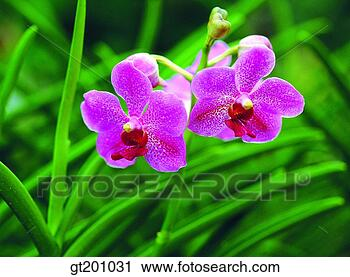 Banques de photographies occidental orchid e for Orchidee exterieur