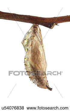 Pictures of Painted lady butterfly cocoon u54076838 ...