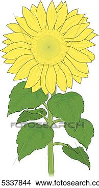Clipart - sunflower. fotosearch  - search clipart,  illustration posters,  drawings and vector  eps graphics images