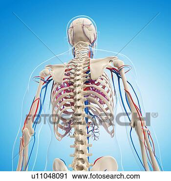剪贴画 - 人类解剖, 艺术品