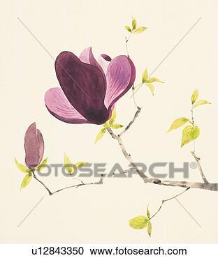 Galleria di illustrazioni viola magnolia ramo con for Magnolia pianta prezzi
