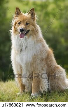 Tan and white, long haired mixed Breed Dog , Canada, Alberta View ...