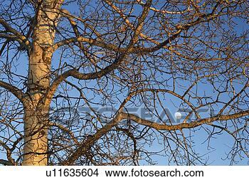 Tremble, arbre, lune, eau, vallée, alberta, canada voir image grand