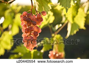pinot noir grapes ~u20440554 Wine 101 Other White Wine Grapes