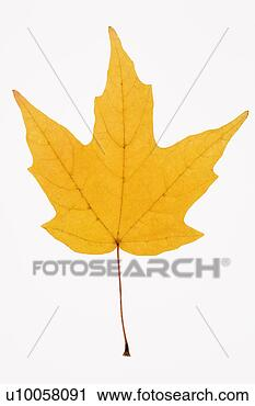 yellow sugar maple leaf against white background u10058091 lushpix ...
