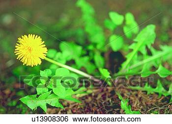 Banque d 39 images fleur jaune pissenlit plante fleur - Mauvaise herbe fleur jaune ...