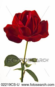 Stock Photo - rose, rosa. fotosearch 